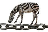 Animal zebra walking on chain — Stock Photo