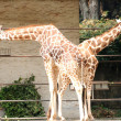 Two giraffe - Stock Photo