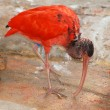 Red bird scarlet ibis — Stock Photo
