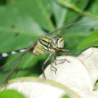 Dragonfly macro - Stock Photo
