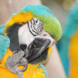 Pet bird parrot macaw - Stock Photo
