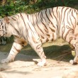 Stock Photo: Wild animal white tiger