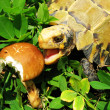 Pet turtle Impressed tortoise eat mushroom — Stock Photo