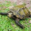 Pet turtle Impressed tortoise — Stock Photo