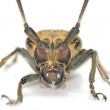 Insect long horn beetle — Stock Photo
