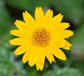 Single flower — Stock Photo