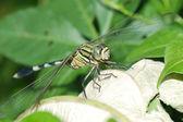 Dragonfly macro — Stock Photo