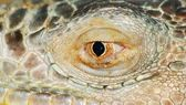 Iguana lizard eye — Stock Photo