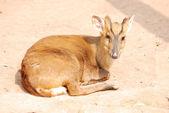 Animal deer — Stock Photo