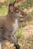 Animal kangaroo — Stock Photo