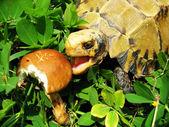 Pet turtle Impressed tortoise eat mushroom — Stock Photo