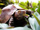 Aziatische doornschildpad — Stockfoto