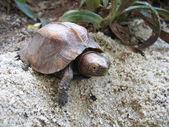Keeled box turtle — Stock Photo