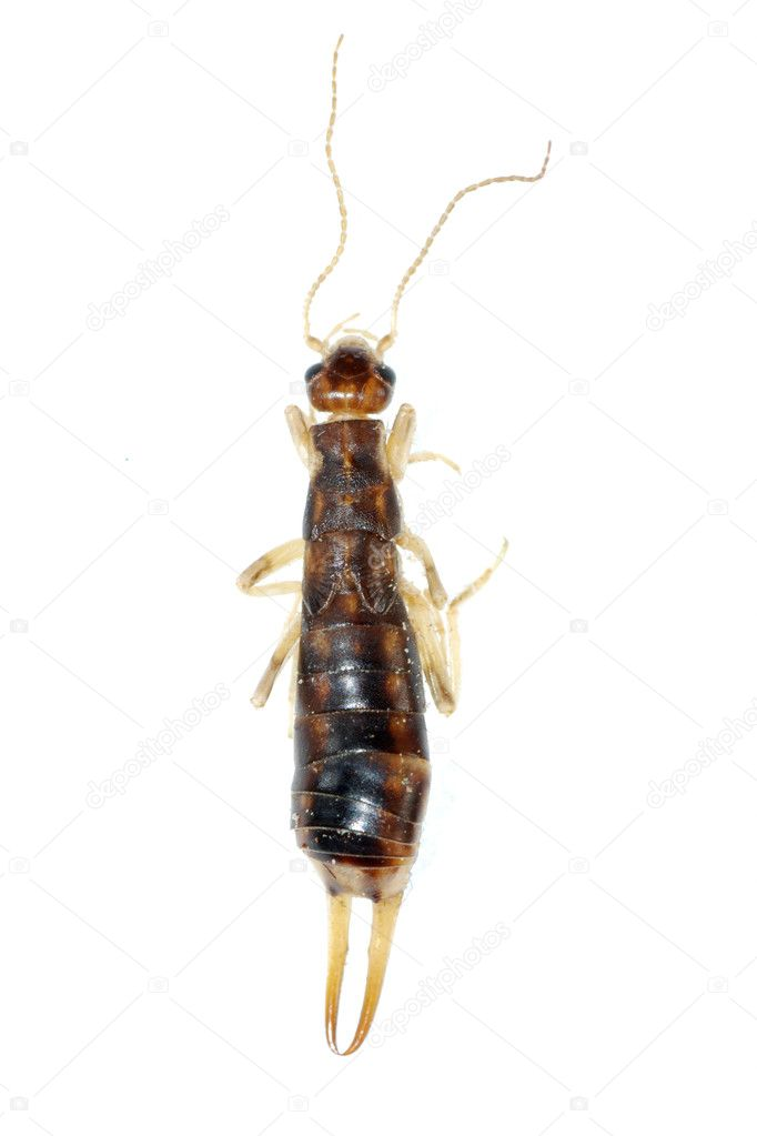 Insect striped earwig isolated isolated on white — Stock Photo #7321564