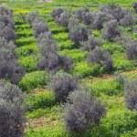 jonge olijfboomgaard — Stockfoto #6945338