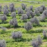 风景与橄榄树 — 图库照片 #6965460