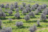 Landscape with olive trees — Stock Photo