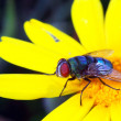 Flesh fly in nature — Stock Photo