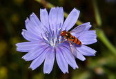 Hoverfly on chicory — Stock Photo