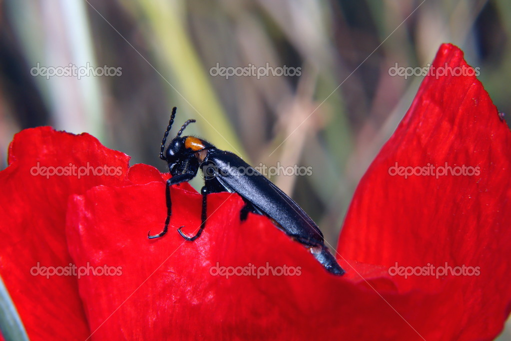 Black Blister beetle on red petal — Stock Photo #6975743