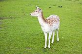 鹿 — ストック写真