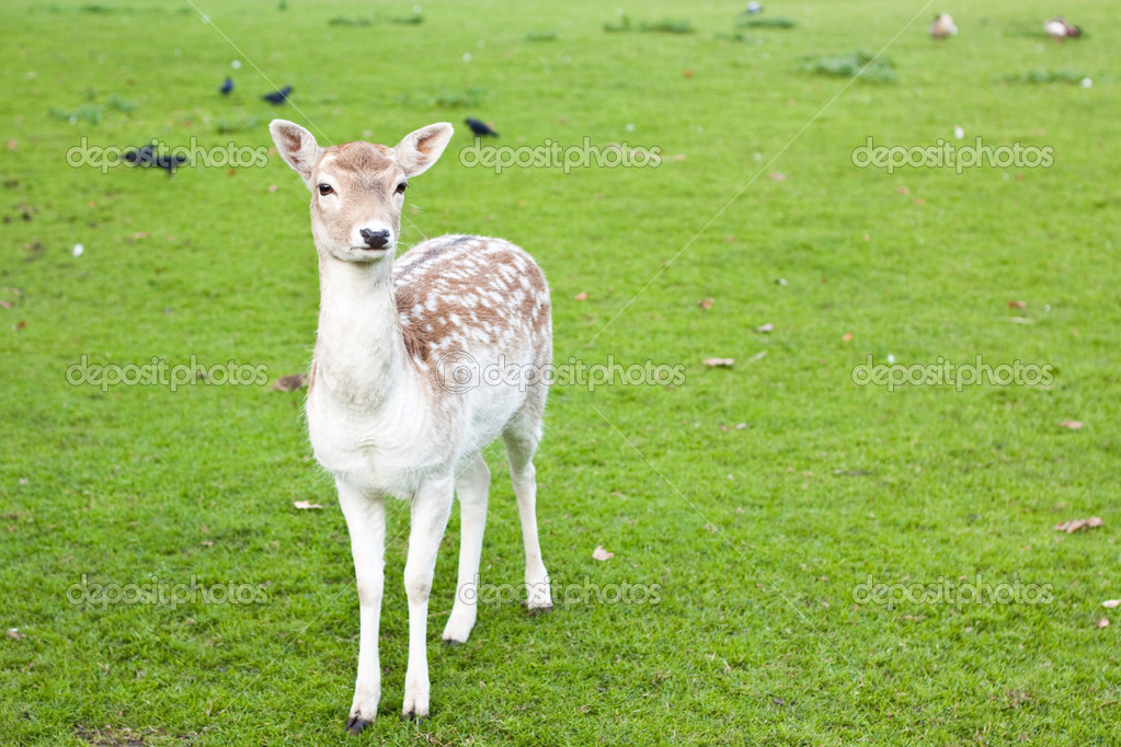 A deer standing on the grass — Stock Photo #7324170