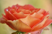 Water drops on an orange rose — Stock Photo