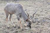 Kudo Antelope — Stock Photo
