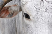 White Bovine — Stock Photo