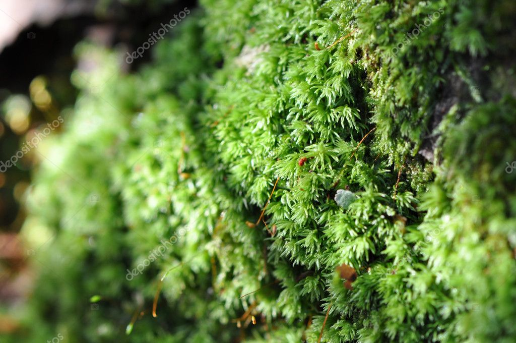 Macro of green moss growing on a tree trunk in the forest — Stock Photo #7161204