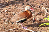 Black bellied whistling duck — Stock Photo