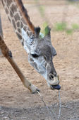 Giraffe Eating — Stock Photo