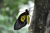 Thoas papilionidae vlinder — Stockfoto