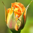 Orange rosebud with flower spider — Stock Photo