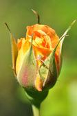 Orange rosebud with flower spider — Stock Photo