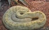 Neotropical Rattlesnake — Stock Photo