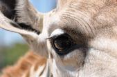 Closeup of Giraffe Eye — Stock Photo