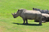Northern White Rhinoceros — Stock Photo