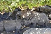 Indian Rhinoceros (Rhinoceros unicornis) — Stock Photo