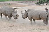 Pair of white rhinos — Stock Photo