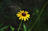 Brown eyed susan in bloom — Stock Photo