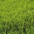 Stock Photo: Dew on the lawn