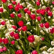 Red tulips — Stock Photo #6777297