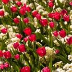 Red tulips — Stock Photo #6777297