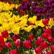 Tulips — Stock Photo #6777311