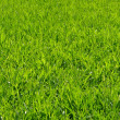 Stock Photo: Lawn in spring