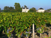 Bordeaux vineyard — Stock Photo