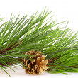 Fresh green pine branches and a gold bump — Foto de Stock