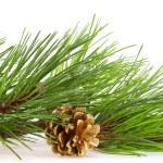 新鲜绿色松枝和金凸点 — 图库照片