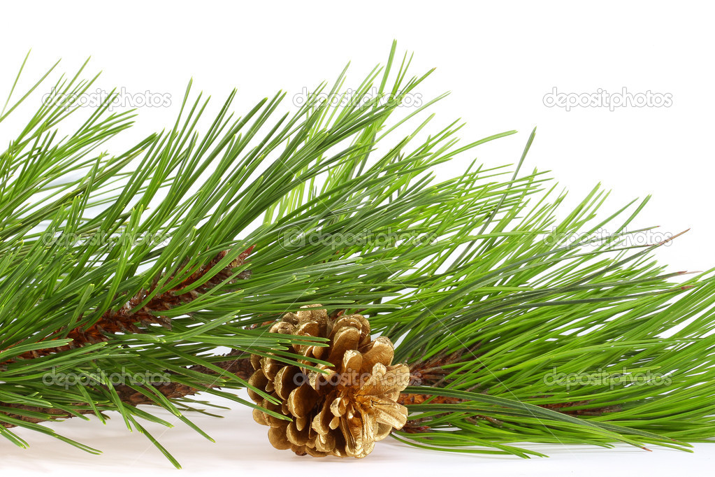 Fresh green pine branches and a gold bump on a light background — Stock Photo #6751412